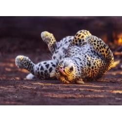Topný obraz - Leopard na zádech