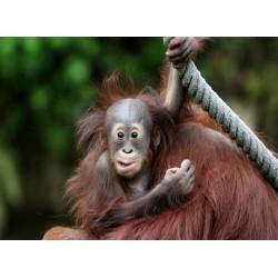 Topný obraz - Opičí mládě
