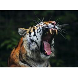 Topný obraz - Zívající tygr