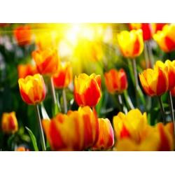 Topný obraz - Žluto červené tulipány