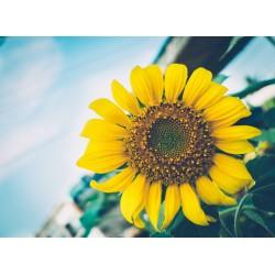 Topný obraz - Slunečnice