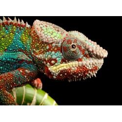 Topný obraz - Zbarvený chameleon