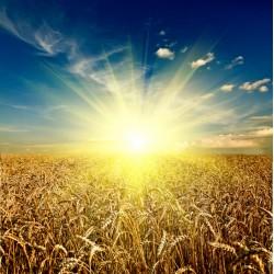Topný obraz - Slunce nad polem