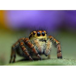 Topný obraz - Pavouk